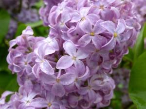 Lilacs#1