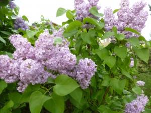 Lilacs#2