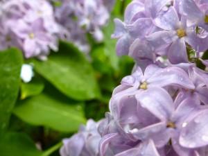 Lilacs#3
