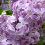 Lilacs#4